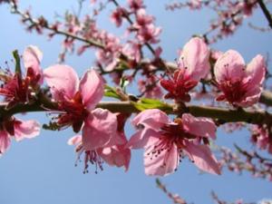 Şeftali Çiçekleri